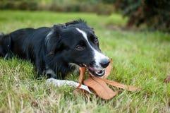Svartvit hund som ligger på grönt gräs och utomhus gnag en pinne med det gula bladet under höstdag Fotografering för Bildbyråer