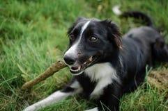 Svartvit hund som utomhus spelar med pinnen i parkera under solig sommardag Arkivfoto