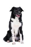 Svartvit isolerad hundkantcollie royaltyfri foto