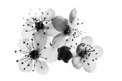 Svartvit körsbärsröd blomma royaltyfri fotografi