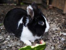 Svartvit kanin som äter vattenmelon Arkivbild