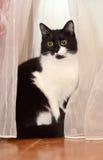 Svartvit katt i gardinerna Arkivfoton