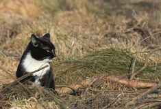 Svartvit katt i gräset arkivbilder