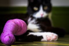 Svartvit katt med ett benbrott Fotografering för Bildbyråer