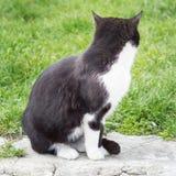 Svartvit katt på en bakgrund av grönt gräs Fotografering för Bildbyråer