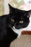 Svartvit katt som bort ser royaltyfri fotografi