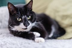Svartvit katt som kopplar av i en soffa Fotografering för Bildbyråer