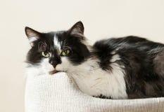 Svartvit katt som ligger i en kattsäng fotografering för bildbyråer