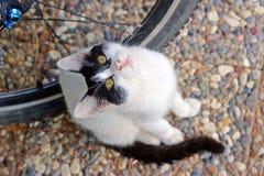 Svartvit katt som ser upp Royaltyfria Bilder