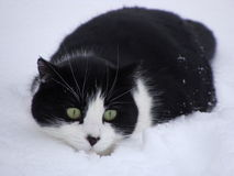 Svartvit katt som smyga sig i snön Arkivfoto