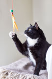 Svartvit katt som spelar med fjäderleksaken Arkivfoto