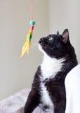 Svartvit katt som spelar med fjäderleksaken Arkivbilder