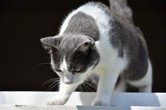 Svartvit katt som ut ner ser fönstret Royaltyfria Bilder