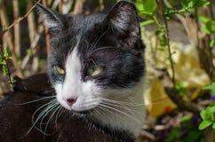 Svartvit katt utanför på den soliga dagen close upp arkivbild