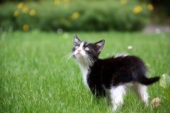 Svartvit kattunge Royaltyfria Foton