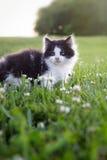Svartvit kattunge Royaltyfri Fotografi