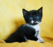 Svartvit kattunge med blåa ögon Arkivbild