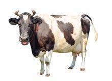 Svartvit ko med en stor juver som isoleras på vit bakgrund Full längd för prickig rolig ko som isoleras på vit Fotografering för Bildbyråer