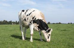 Svartvit ko som betar i det gröna gräset arkivfoto