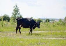 Svartvit ko som betar i en ?ng royaltyfri fotografi