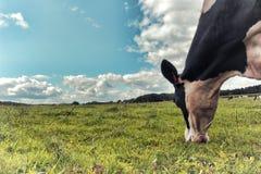Svartvit ko som betar på det gröna fältet Arkivfoto