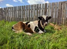 Svartvit ko som ner ligger på grönt gräs arkivfoton