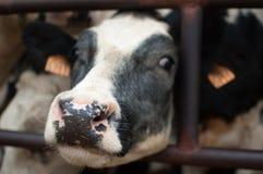 Svartvit ko, våt näsa för kor, ecolantbrukbegrepp royaltyfri foto