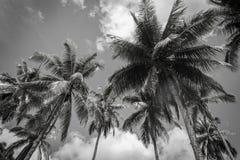 Svartvit kokosnötpalmträd på blå himmel Royaltyfria Foton