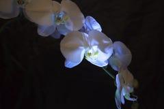 Svartvit kontrast vit orkidé- och svartbakgrund Royaltyfri Foto