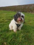 Svartvit Malshipoo nyfikenhund royaltyfria bilder