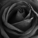 Svartvit monokrom, rosblomma Arkivbild
