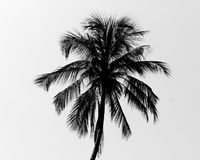 Svartvit palmträd Arkivbilder
