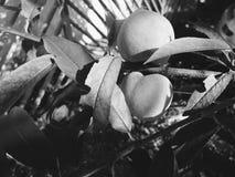 Svartvit persikafrukt på persikan royaltyfria foton