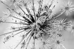 Svartvit prärieblommaexplosion arkivbild