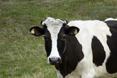 Svartvit prickig ko som betar på grön äng royaltyfria bilder