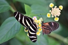 Svartvit randig fjäril med en svart och röd fjäril på en guling- och rosa färgblomma Arkivbild