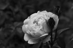 Svartvit ros Royaltyfri Fotografi