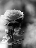 Svartvit ros Fotografering för Bildbyråer