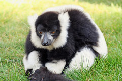 Svartvit ruffed lemur Arkivbild