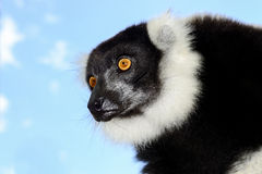 Svartvit ruffed lemur Arkivfoton