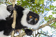 Svartvit ruffed lemur Fotografering för Bildbyråer