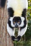 Svartvit ruffed lemur Arkivfoto