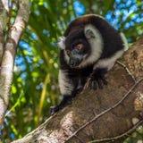 Svartvit ruffed maki av Madagascar Royaltyfria Bilder