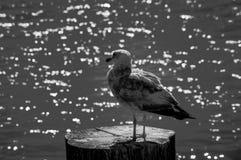 Svartvit sätta sig seagull - arkivfoton