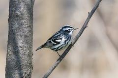 Svartvit sångarefågel Arkivfoto
