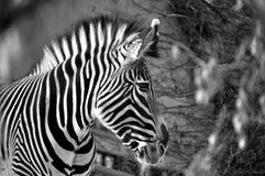 Svartvit sebra på den Calgary zooen Fotografering för Bildbyråer