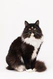 Svartvit siberian katt Fotografering för Bildbyråer
