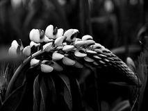 Svartvit slokad lupine royaltyfri fotografi
