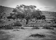 Svartvit soluppgång med det ensamma akaciaträdet royaltyfria foton