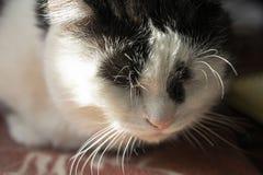 Svartvit sova katt, en stor ståendekonst royaltyfri foto